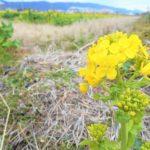 鴨川市_菜な畑ロード 菜の花