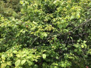 ビワや梅の季節