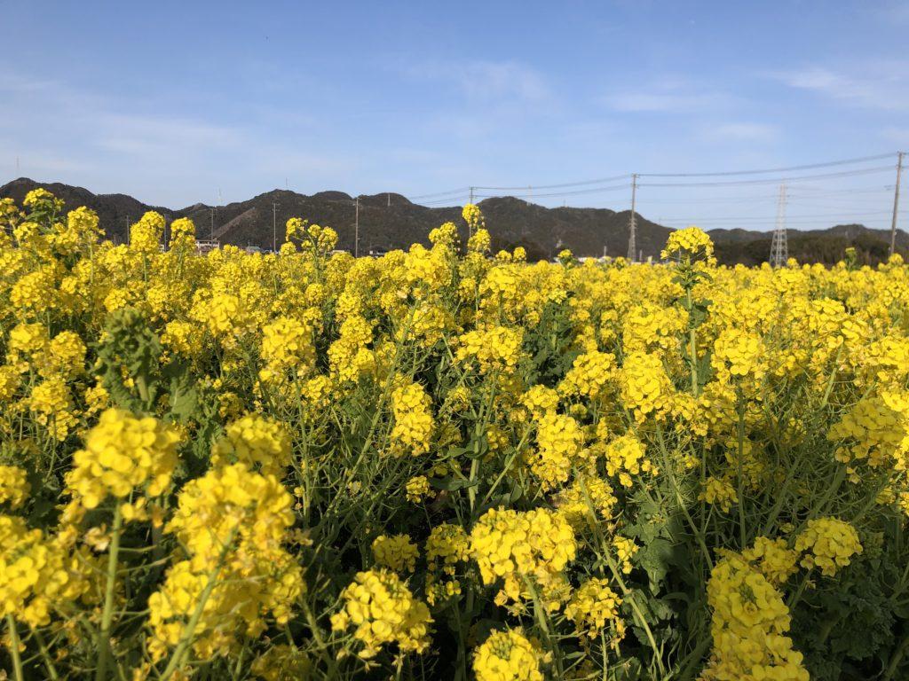 鴨川市 菜の花