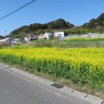 近隣の菜の花畑